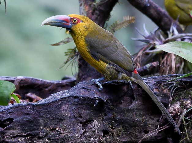 Saffron Toucanet - Nereston Camargo