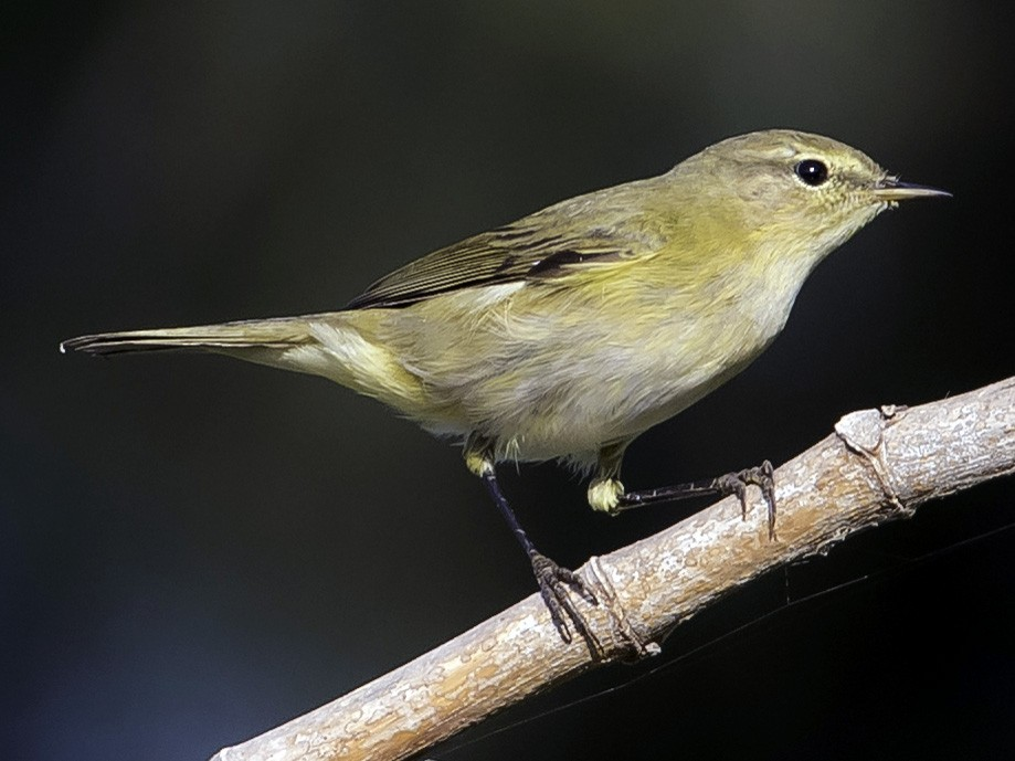 Iberian Chiffchaff - Rogério Rodrigues