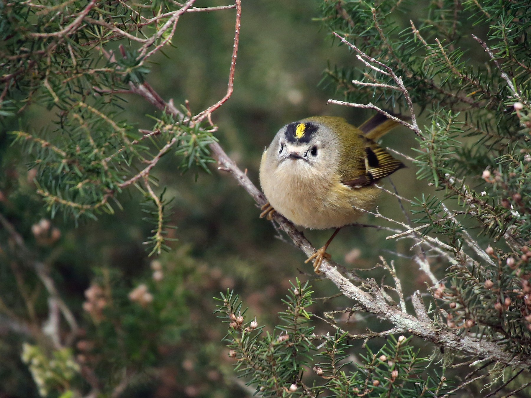 Goldcrest - Paul Chapman