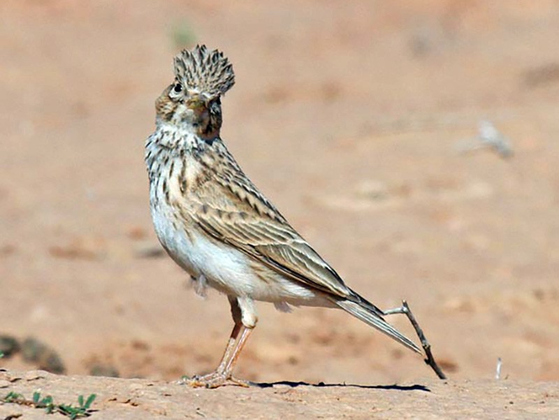 Lesser Short-toed Lark - James Kennerley 🦄