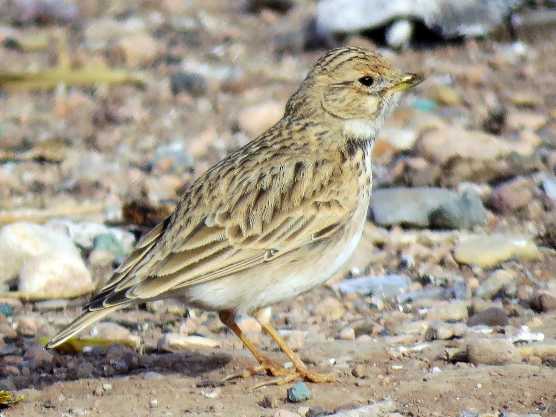 Lesser Short-toed Lark - Thomas Brooks