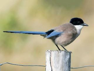 - Iberian Magpie