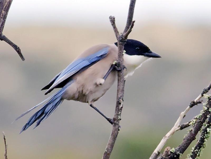 Iberian Magpie - Joshua Vandermeulen