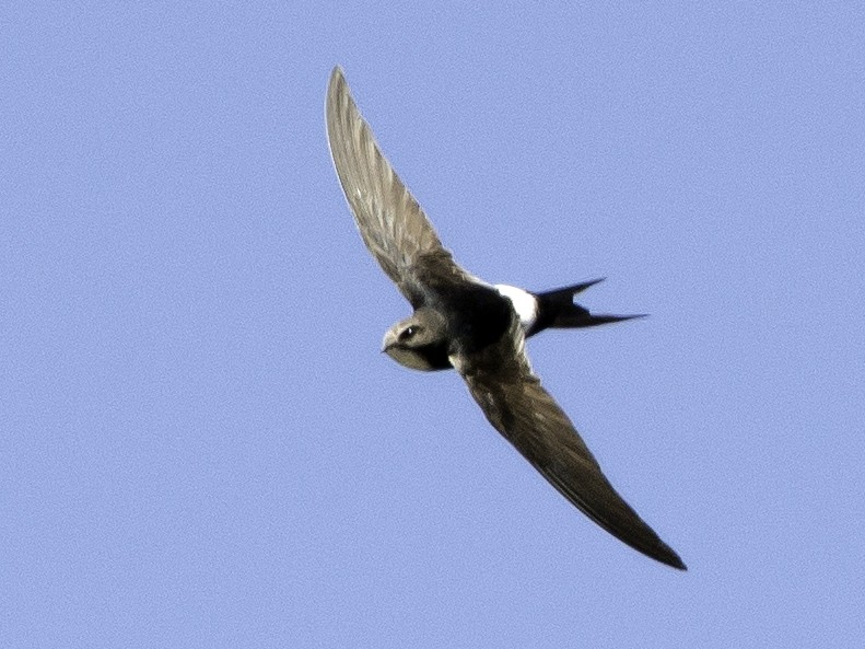 White-rumped Swift - Rogério Rodrigues