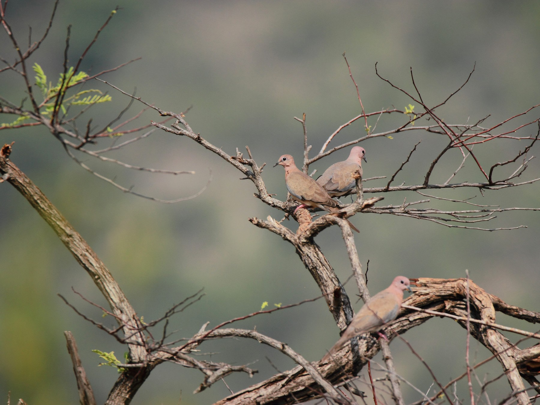 Laughing Dove - Anonymous eBirder