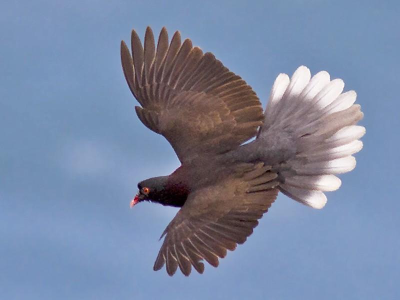 Laurel Pigeon - Javi Elorriaga