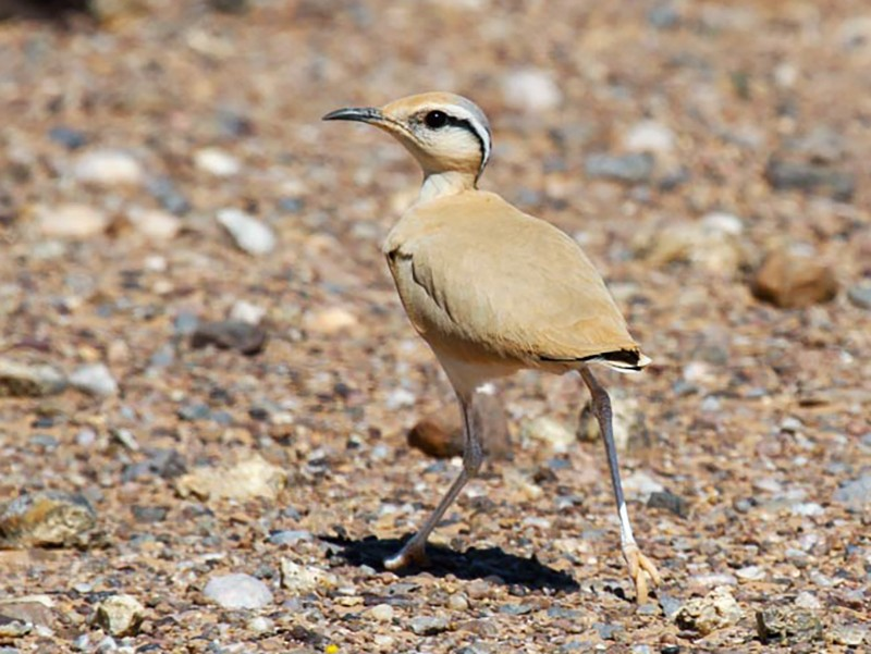 Cream-colored Courser - James Kennerley 🦄