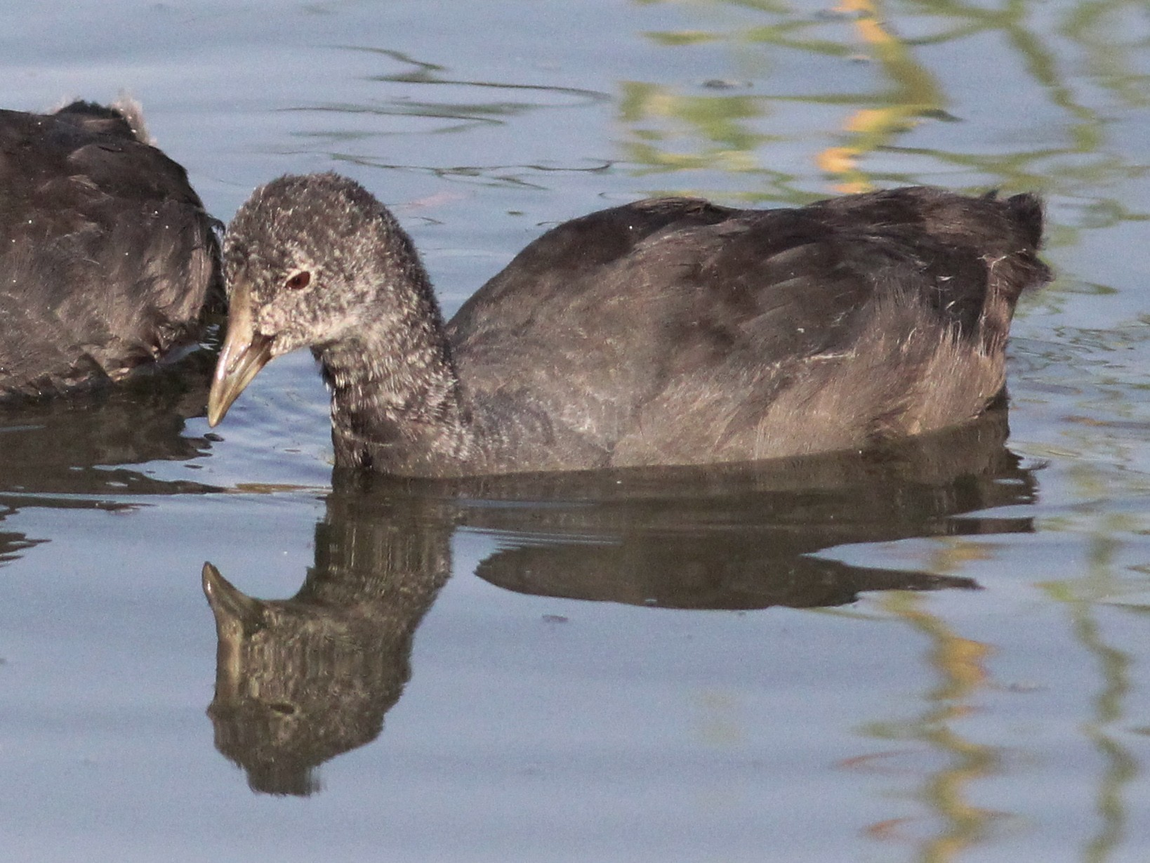 Red-knobbed Coot - Hendrik Swanepoel