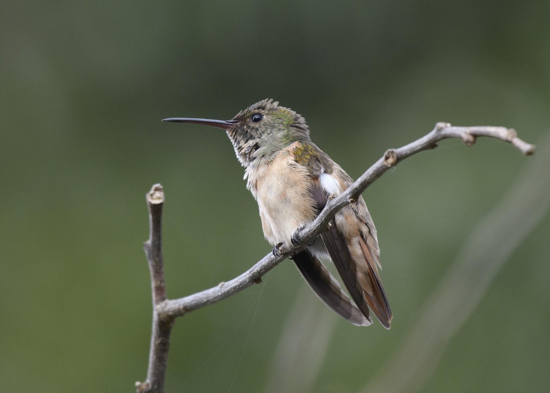 Chestnut-bellied Hummingbird - Anthony Kaduck