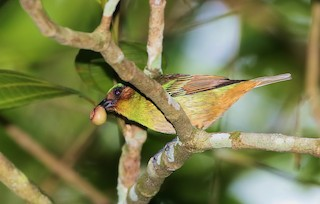 - Rufous-cheeked Tanager