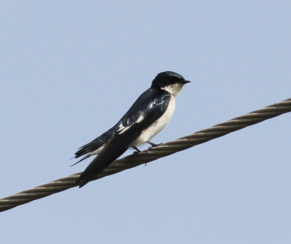 Pied-winged Swallow - Jason Leifester