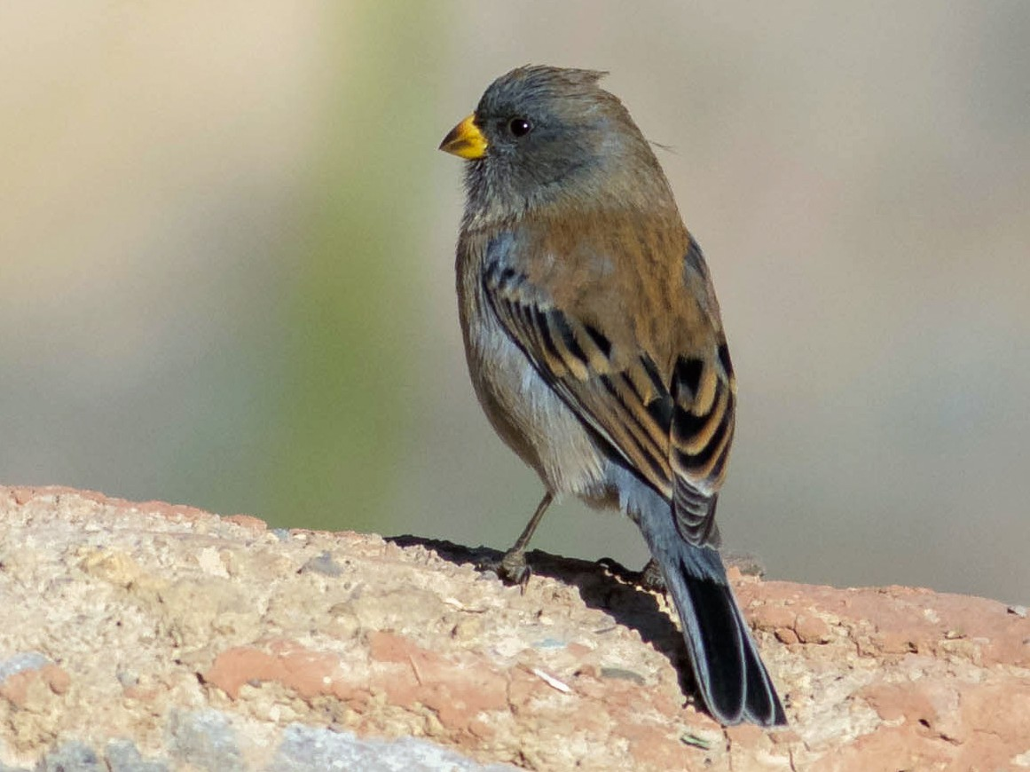 Band-tailed Seedeater - Noah Frade