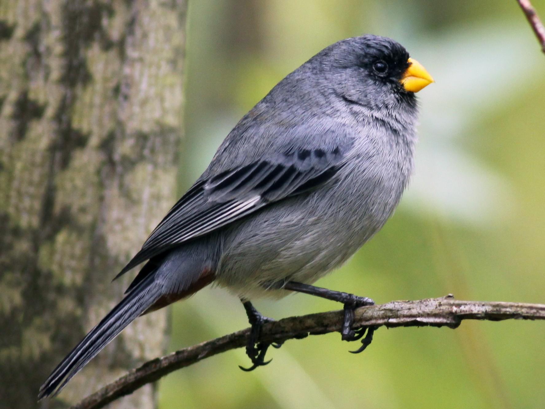 Band-tailed Seedeater - Ian Davies