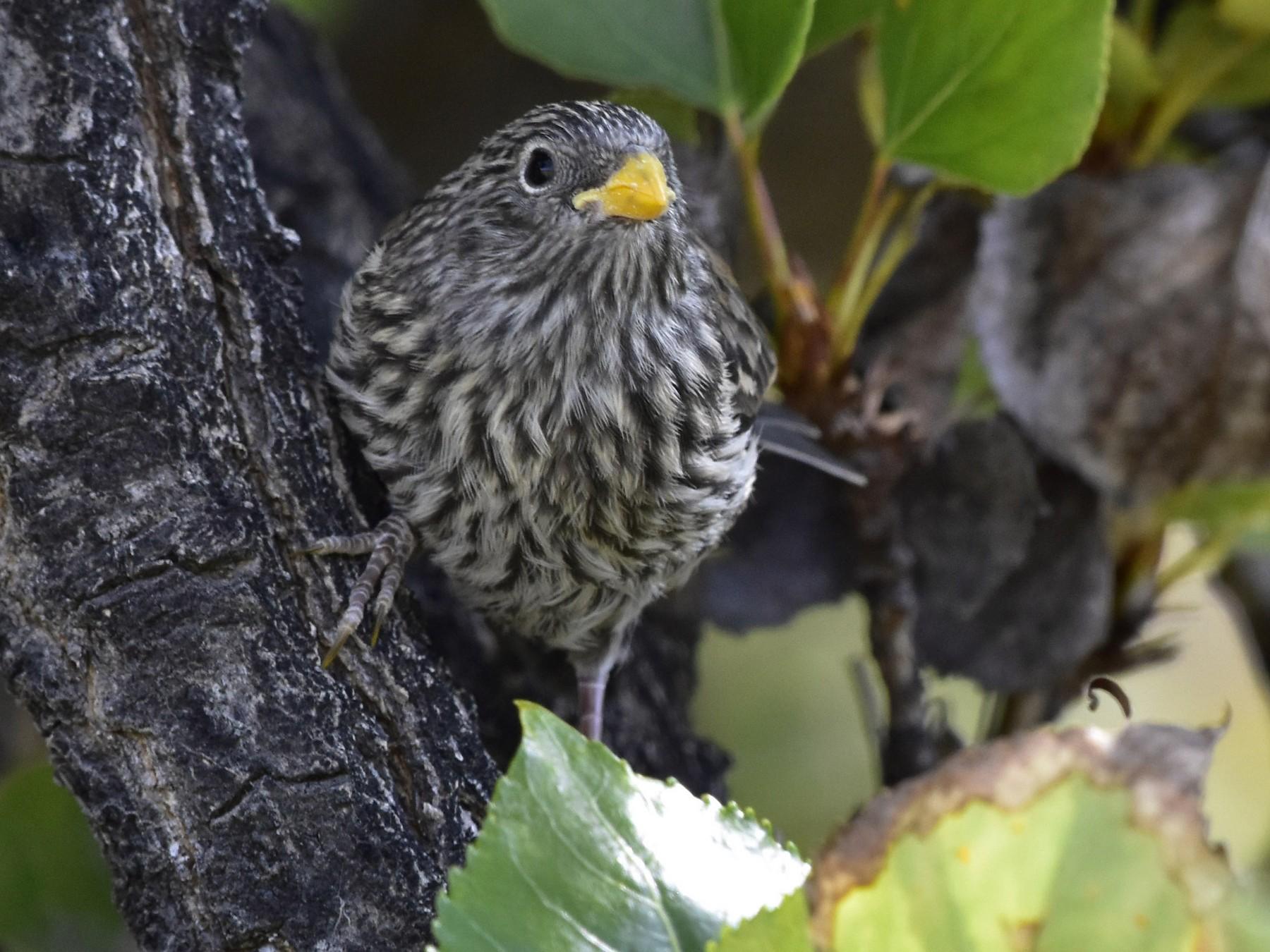 Band-tailed Seedeater - VERONICA ARAYA GARCIA