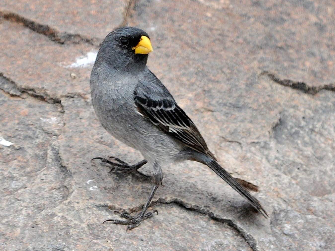Band-tailed Seedeater - Fermin Zorrilla