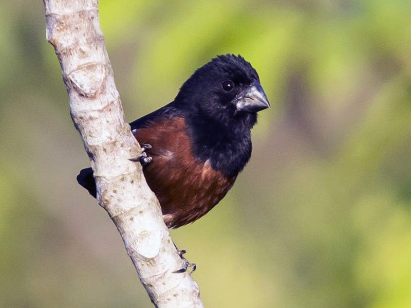 Chestnut-bellied Seed-Finch - Marco Silva