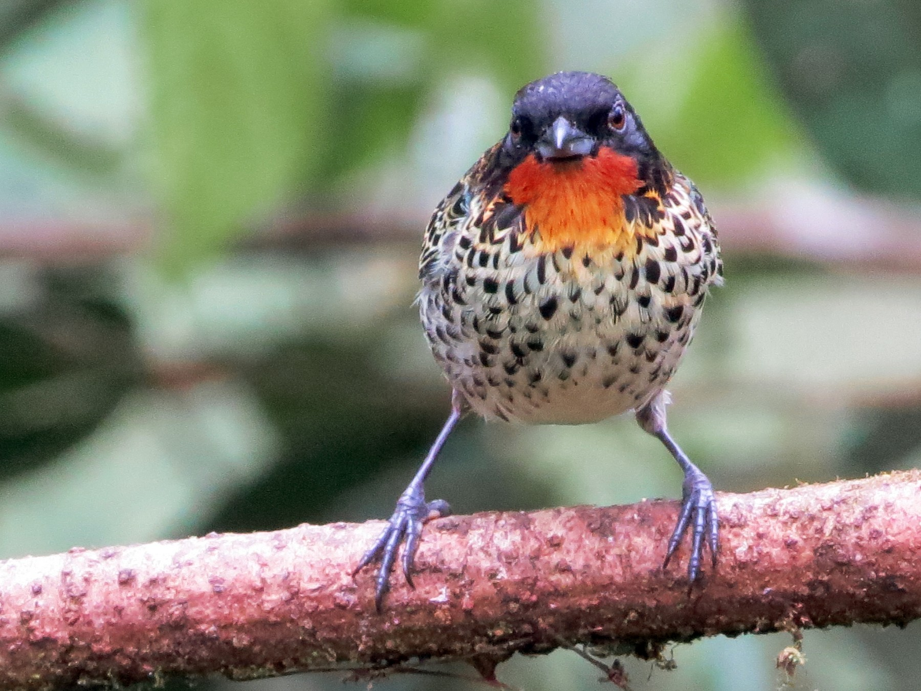 Rufous-throated Tanager - David and Regan Goodyear
