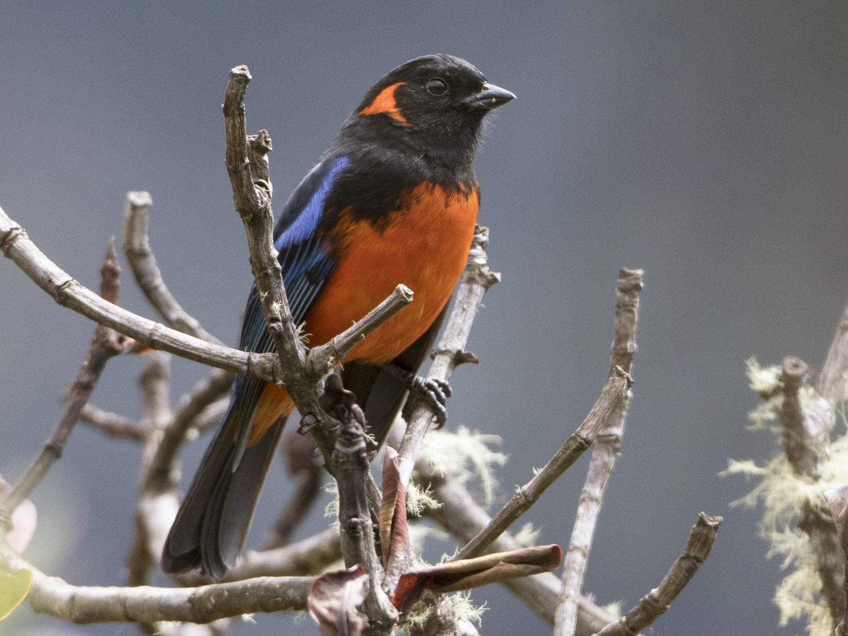 Scarlet-bellied Mountain-Tanager - Brian Sullivan