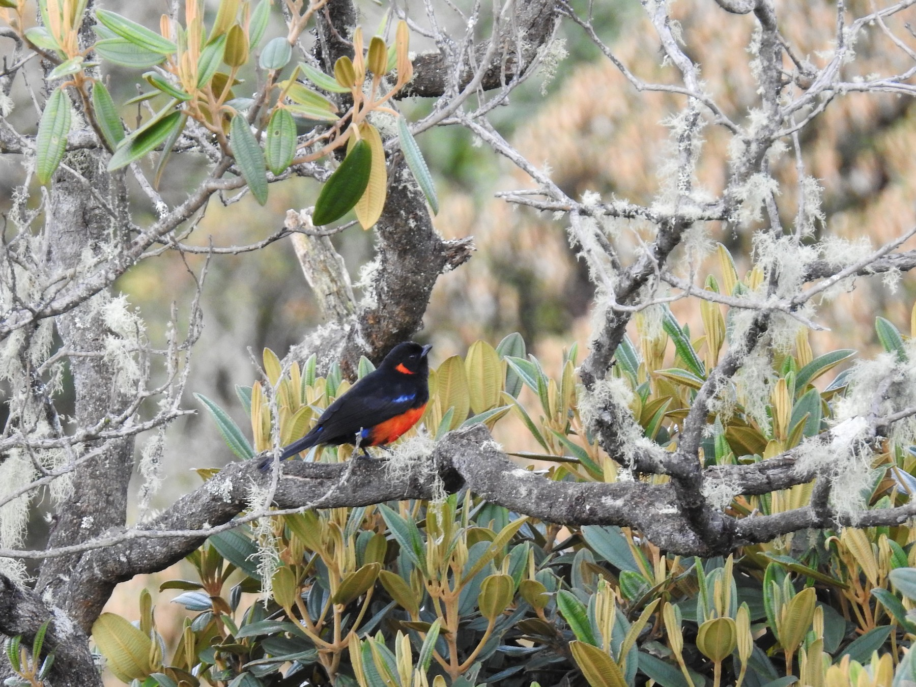 Scarlet-bellied Mountain-Tanager - Mario Uribe