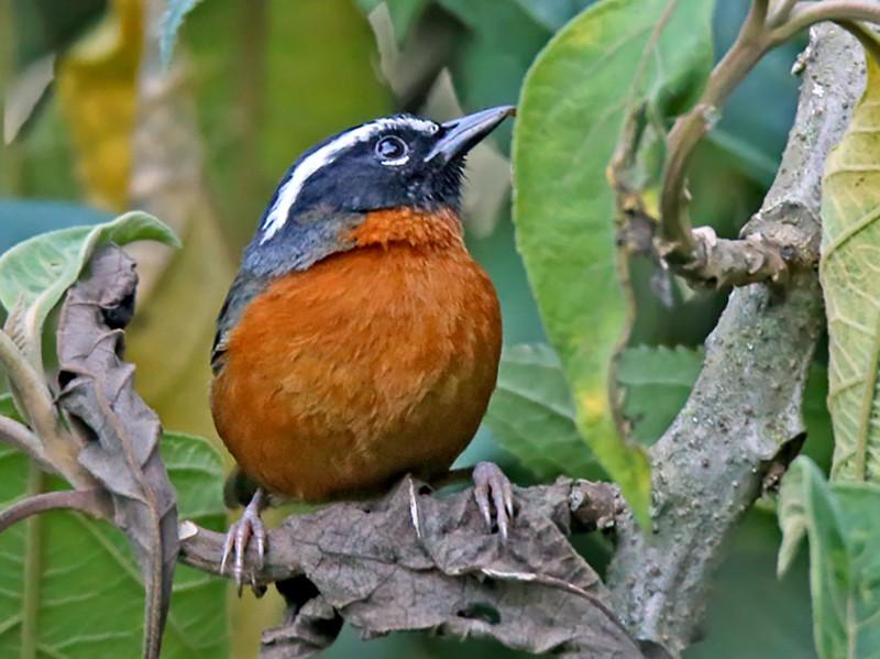 Black-eared Hemispingus - Roger Ahlman