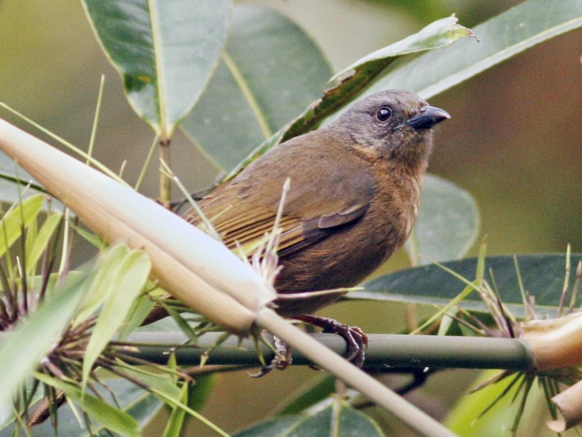 Black-eared Hemispingus - Luke Seitz