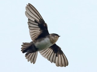- Pale-footed Swallow