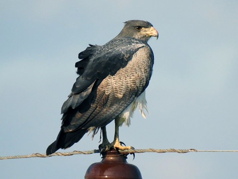 Black-chested Buzzard-Eagle - Jorgelina Alesso