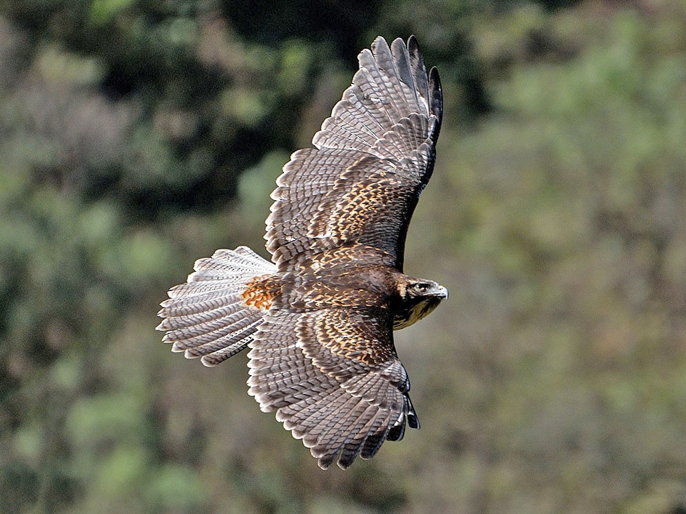 Black-chested Buzzard-Eagle - Luis Fernandez