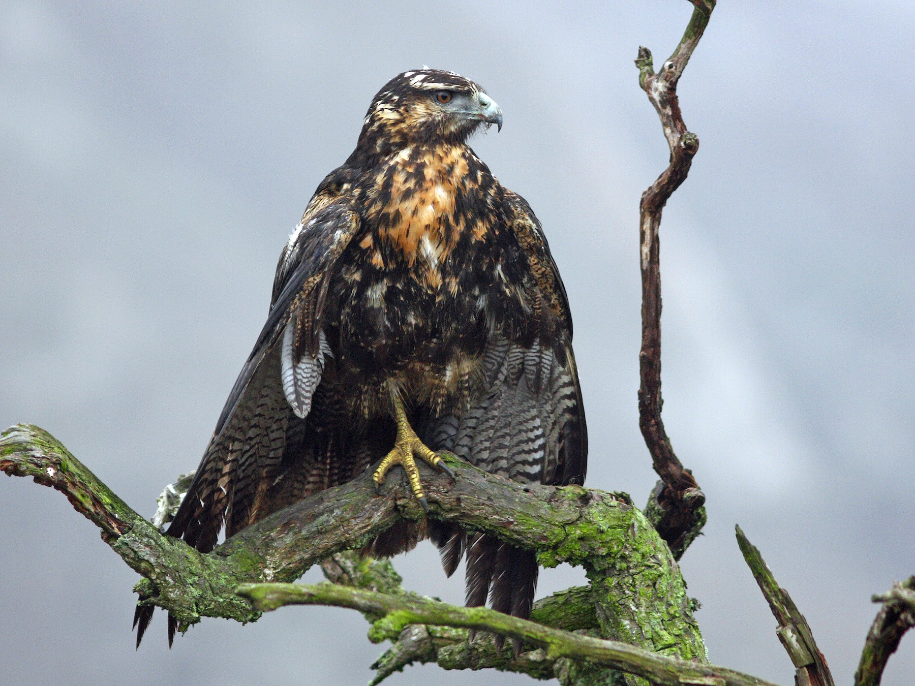 Black-chested Buzzard-Eagle - David Disher