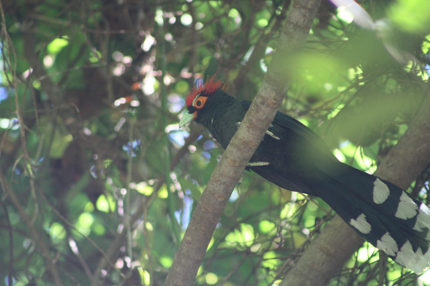 Red-crested Malkoha - Matt Weathers