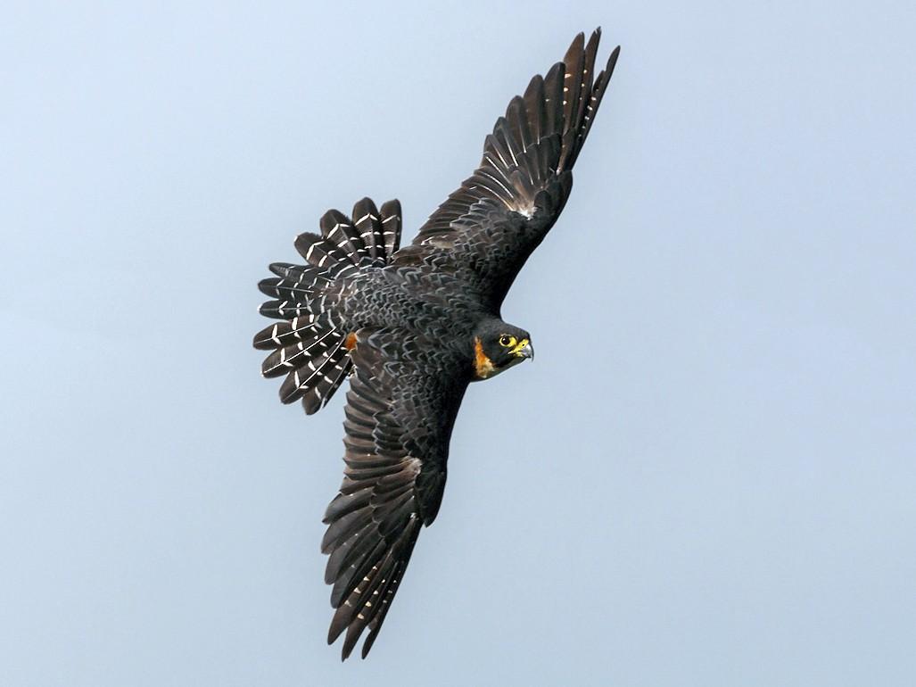 Orange-breasted Falcon - Yeray Seminario