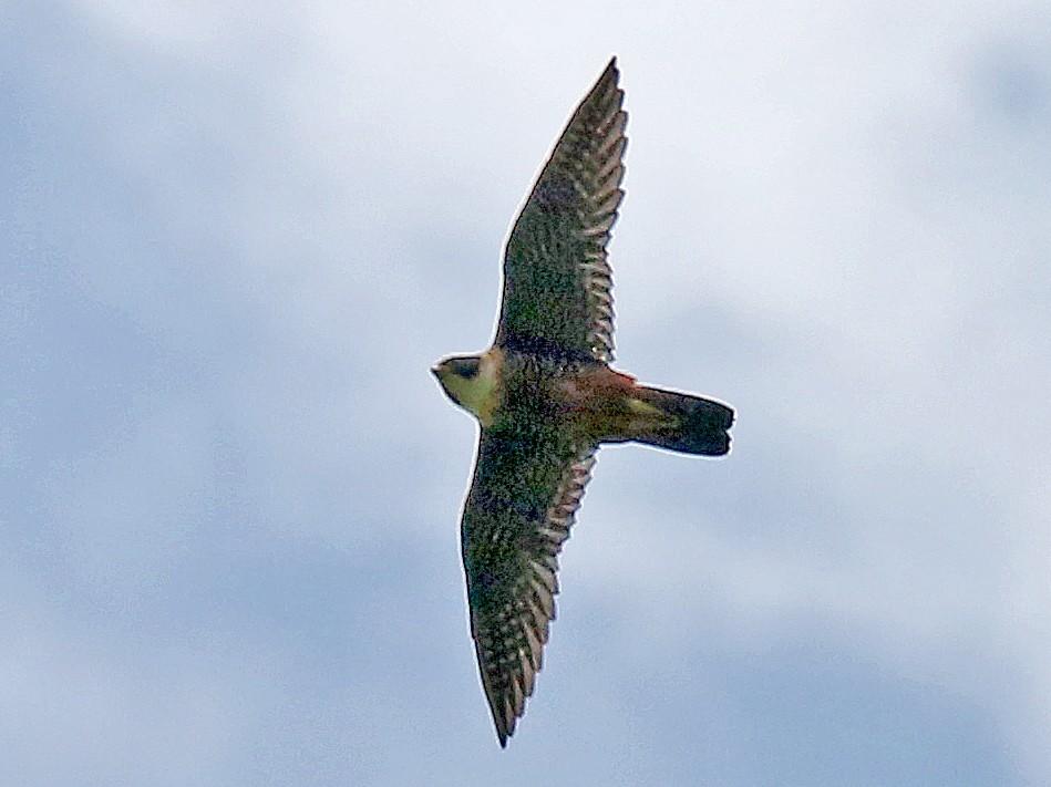 Orange-breasted Falcon - Roger Ahlman