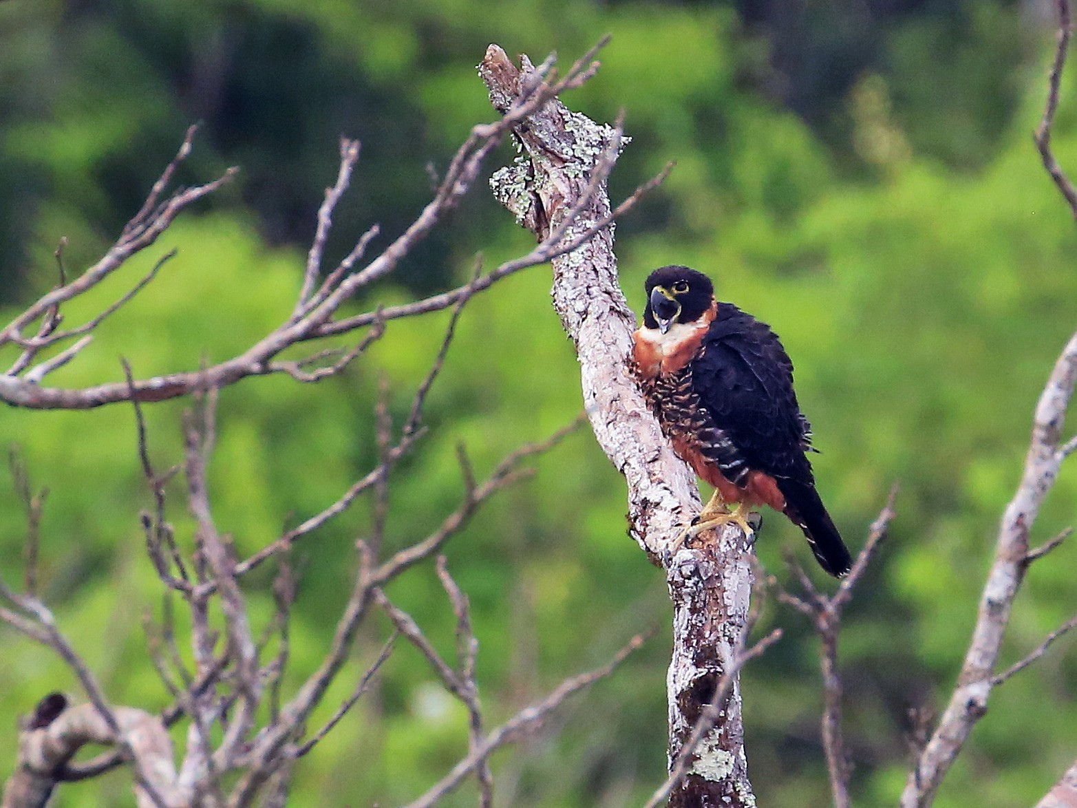 Orange-breasted Falcon - Tim Lenz