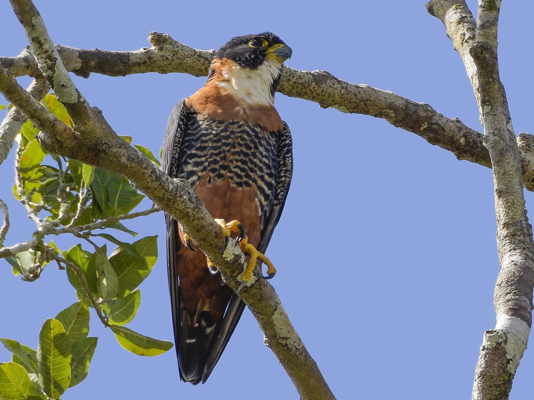 Orange-breasted Falcon - Carlos Echeverría