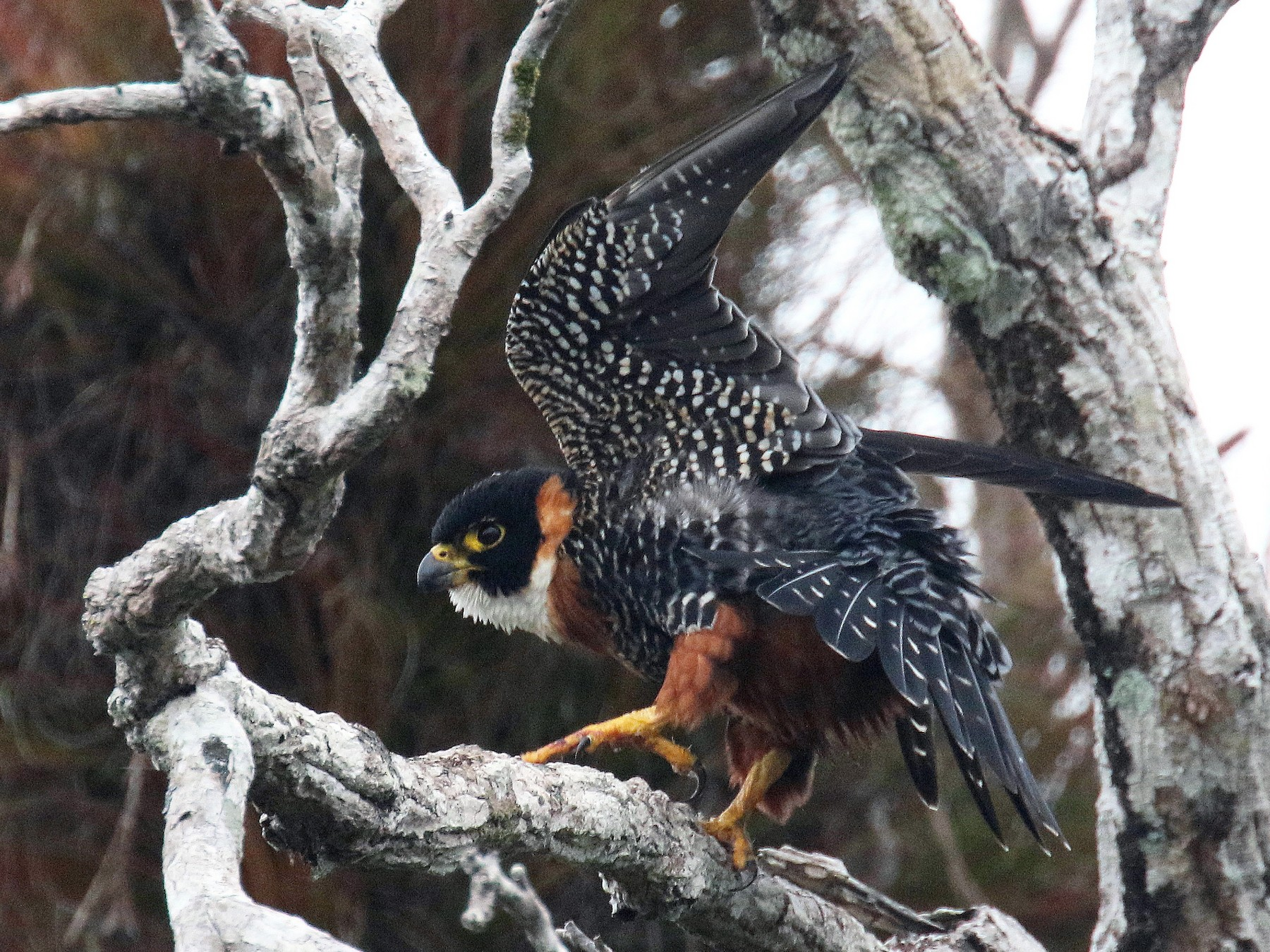 Orange-breasted Falcon - Stephen Gast
