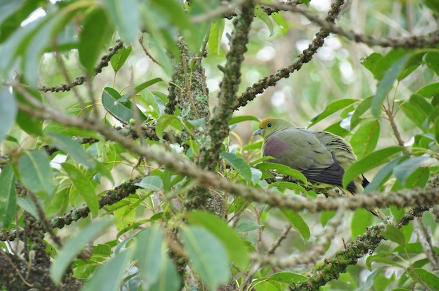 White-bellied Green-Pigeon
