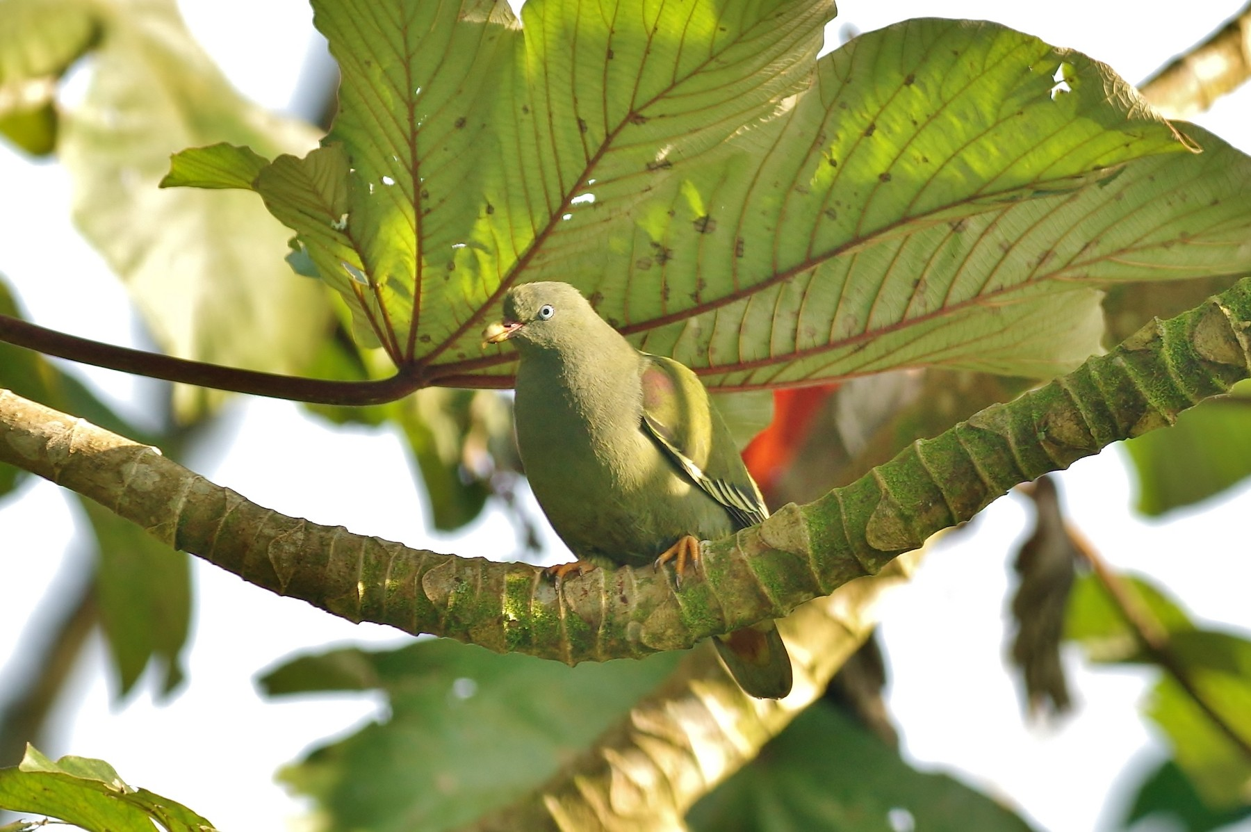 Sao Tome Green-Pigeon - Thibaud Aronson