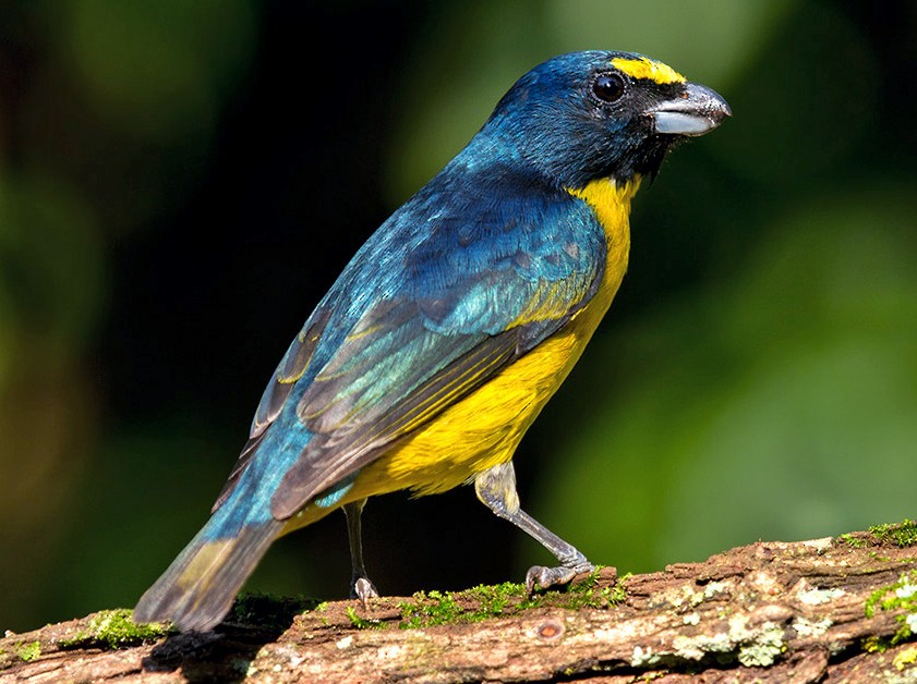 Green-throated Euphonia - Esteban Argerich