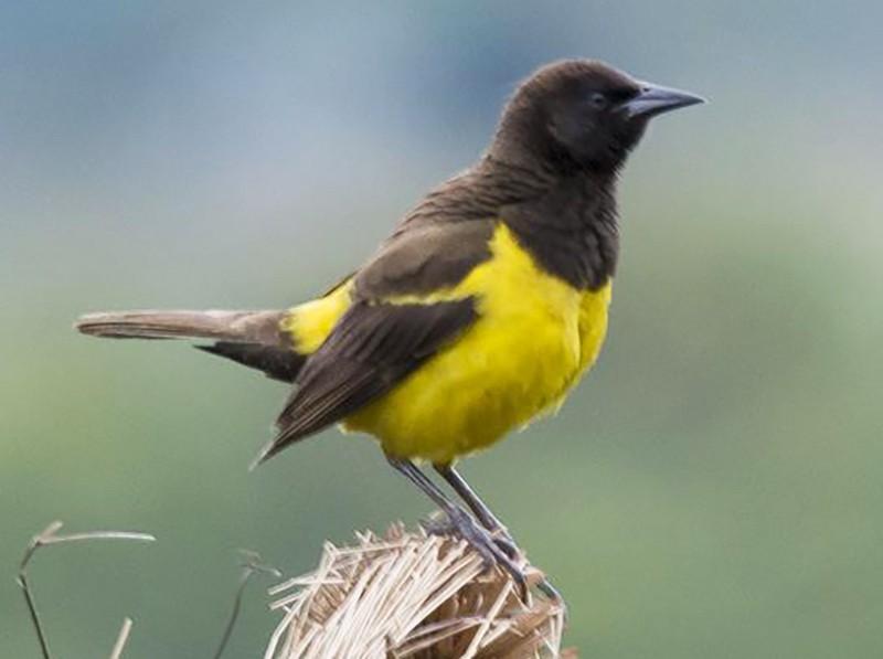 Yellow-rumped Marshbird - Marco Silva