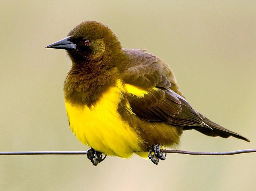 Yellow-rumped Marshbird - Marcelo Allende