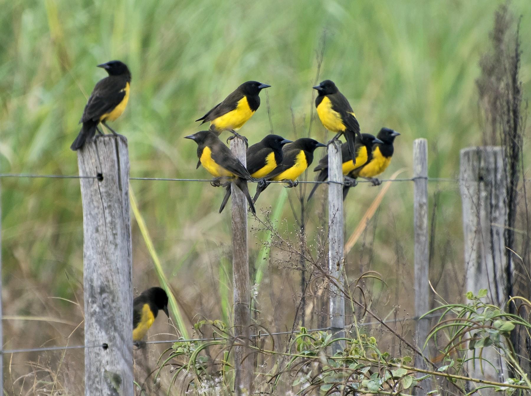 Yellow-rumped Marshbird - Luiz Carlos Ramassotti