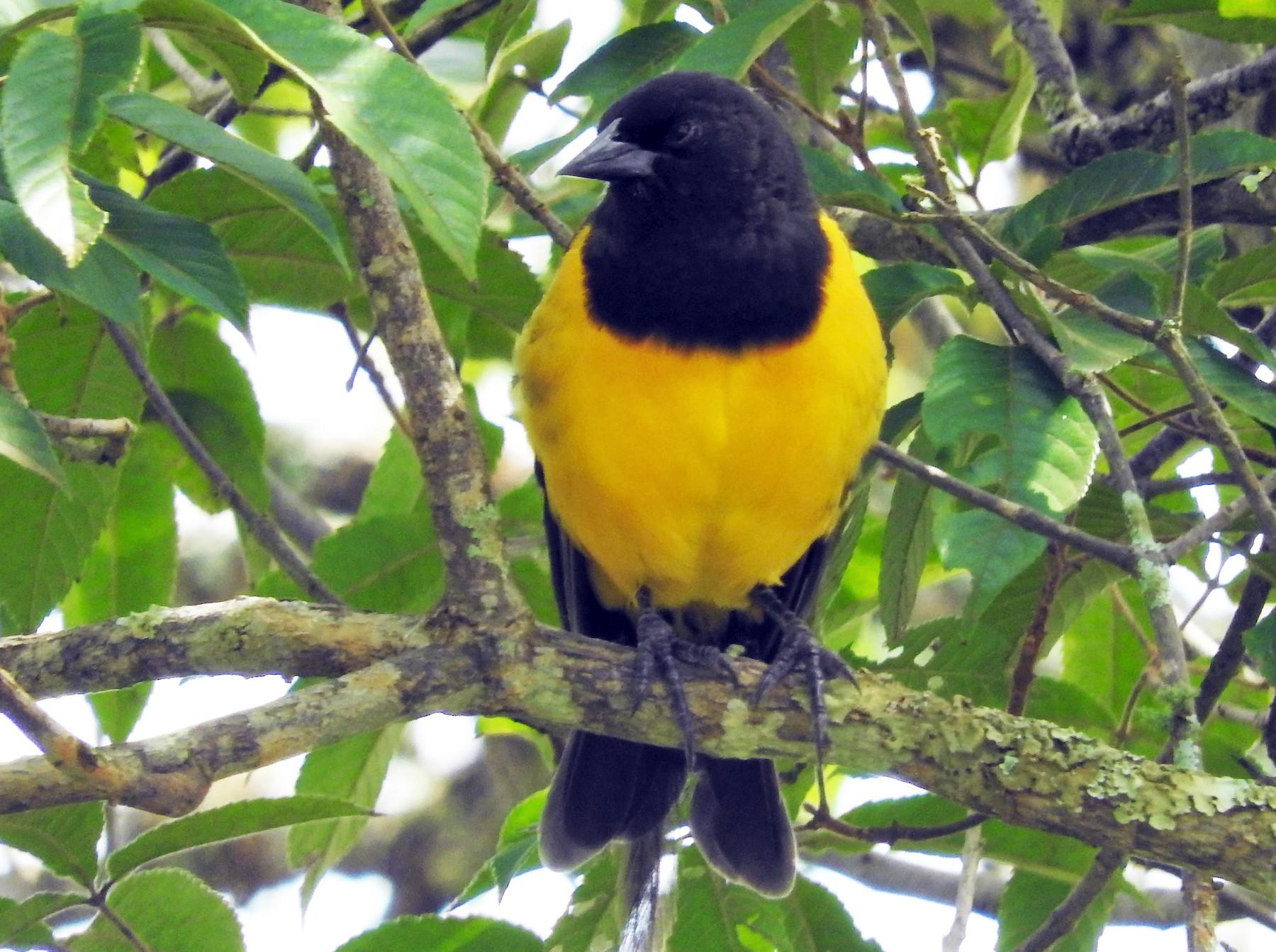 Yellow-rumped Marshbird - Bruno Arantes de Andrade Bueno