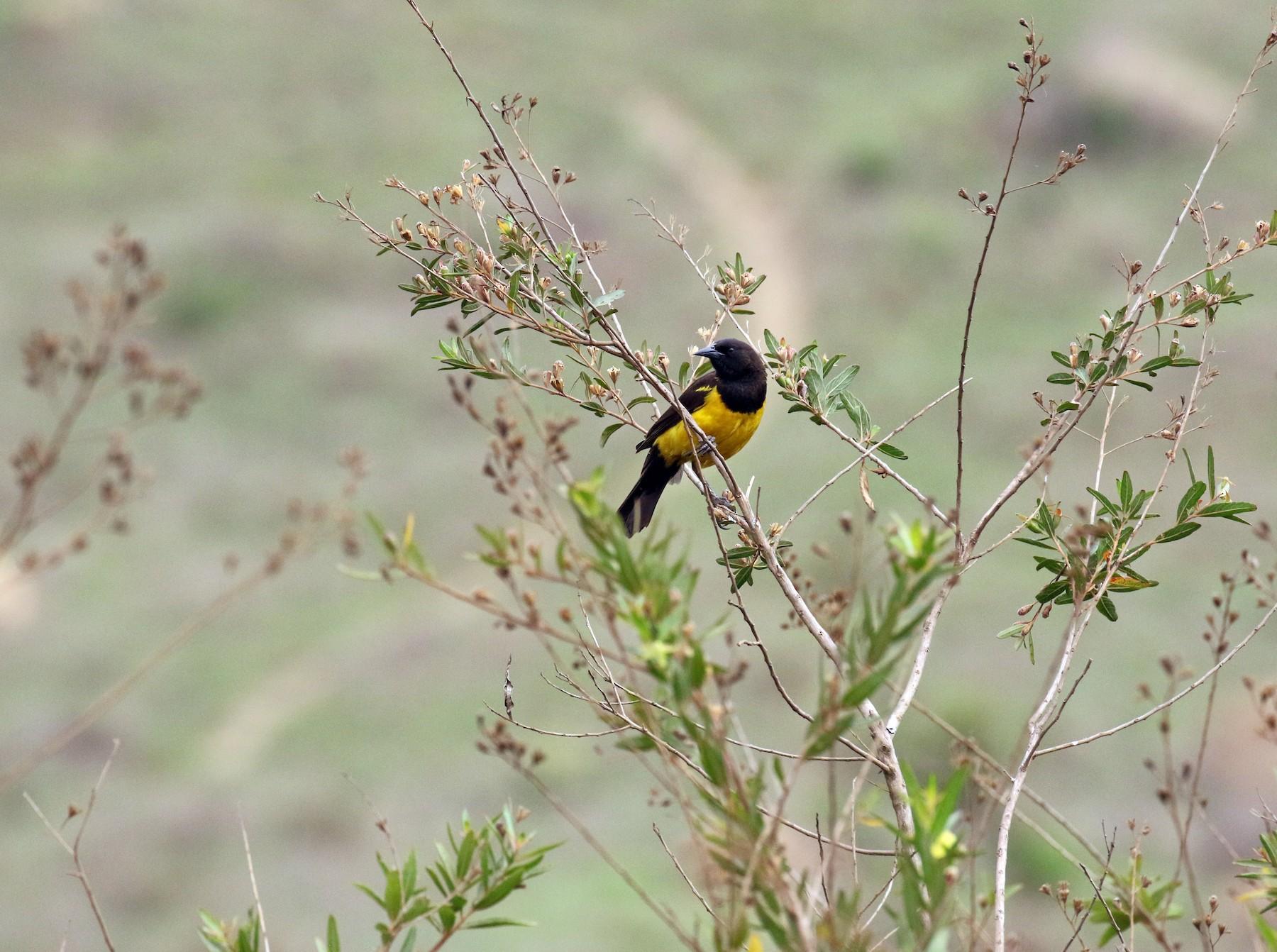 Yellow-rumped Marshbird - Fabrice Schmitt