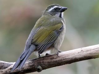 - Green-winged Saltator