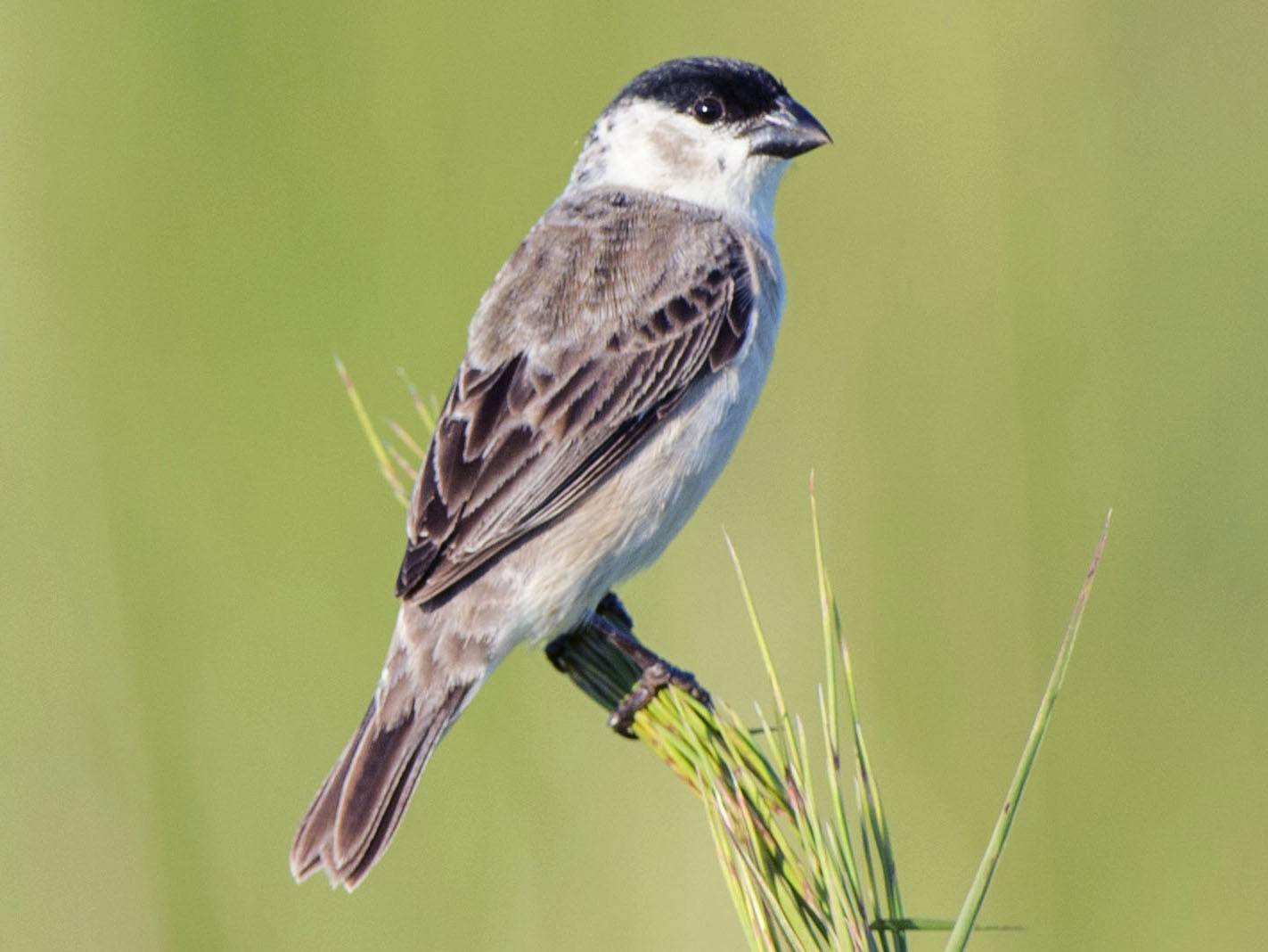 Pearly-bellied Seedeater - Adrian Eisen Rupp
