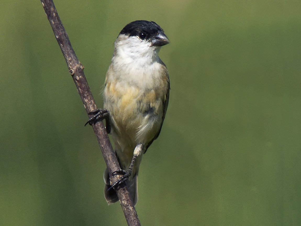 Pearly-bellied Seedeater - Marcelo Allende