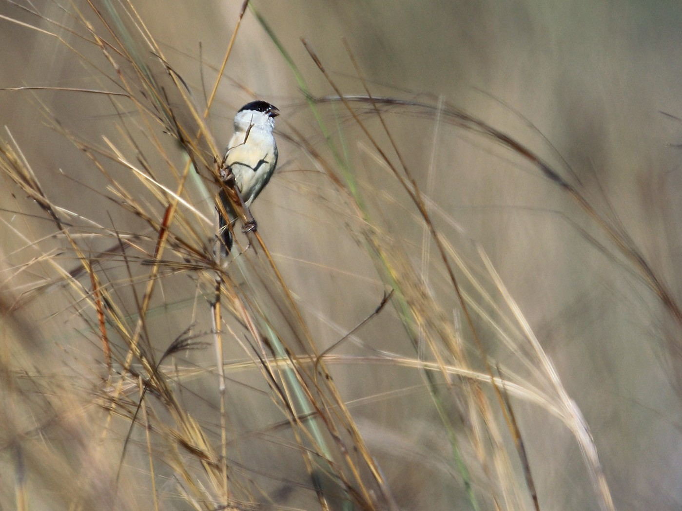 Pearly-bellied Seedeater - Martjan Lammertink