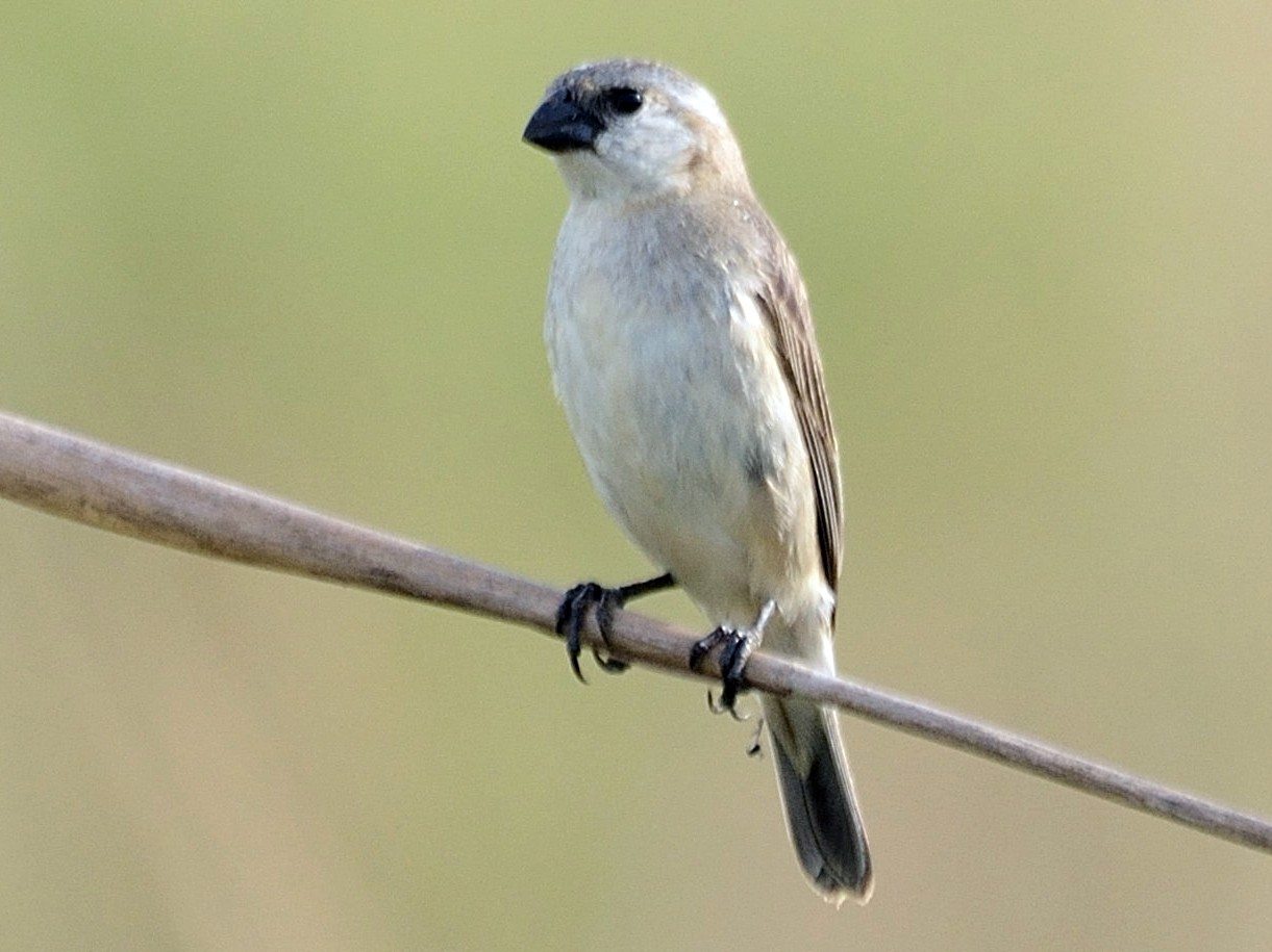 Pearly-bellied Seedeater - Christopher Rex Prevett