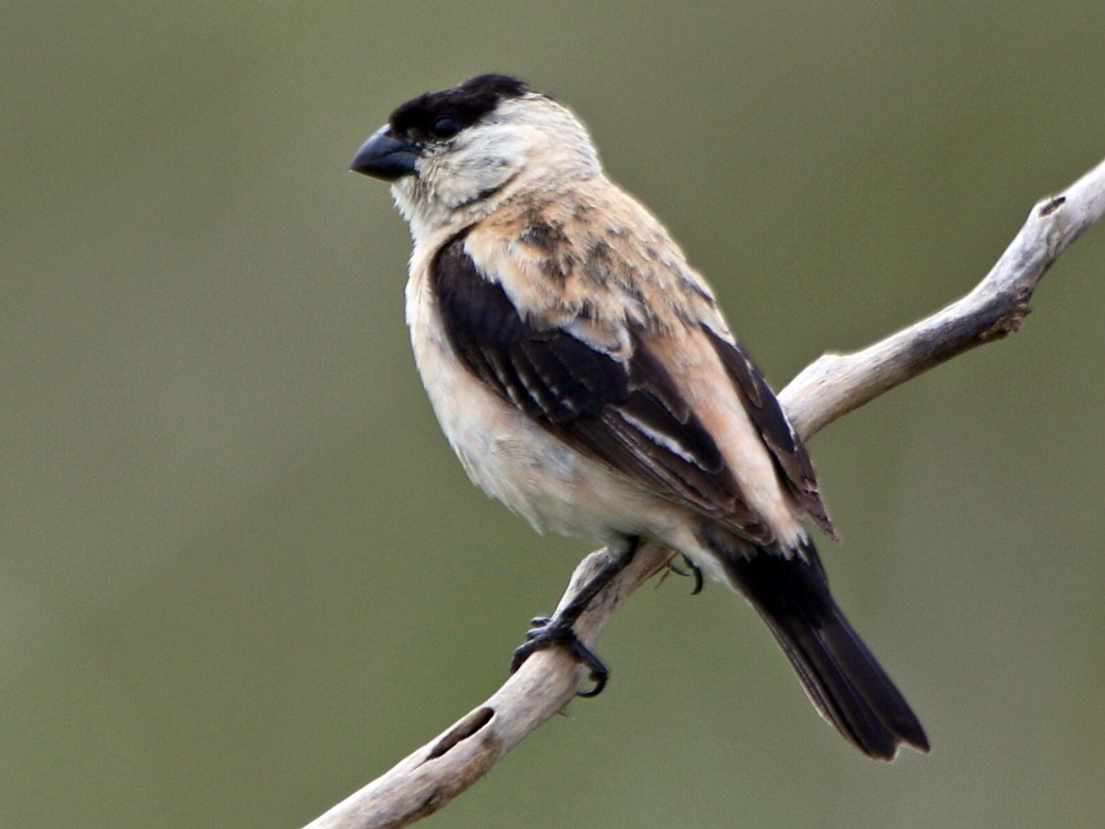 Pearly-bellied Seedeater - Thompson Ian