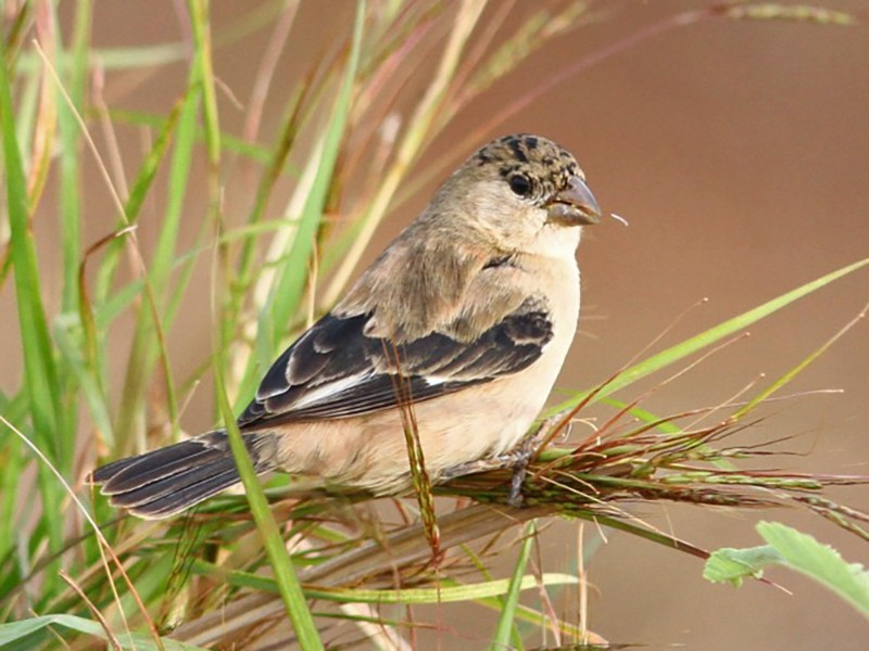Copper Seedeater - Willian Menq